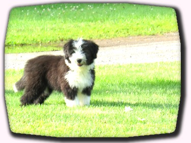 Bearded Collie Puppy 2014